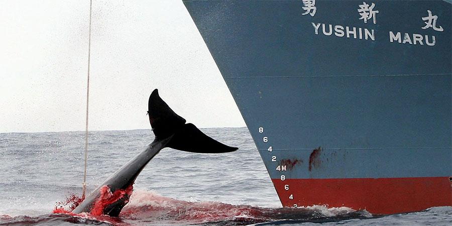japon-chasse-baleine