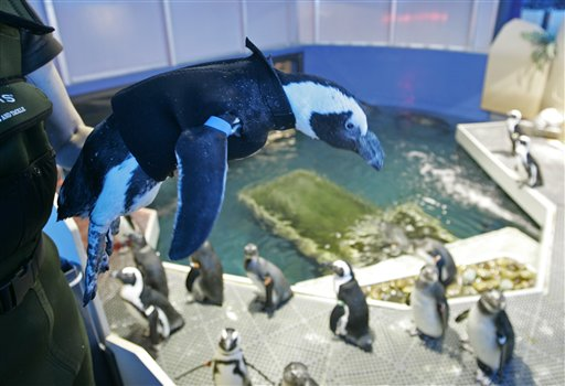 Pierre the Penguin, 25, wears his wetsuit as he is put back into his home at the Academy of Sciences in San Francisco, Thursday, April 17, 2008. Pierre, who was going bald, began wearing a wetsuit six weeks ago and has begun growing back his feathers.(AP Photo/Eric Risberg)