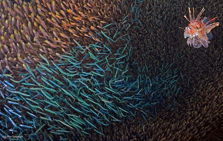 poisson-diable- photo Alex-Tattersall-sm